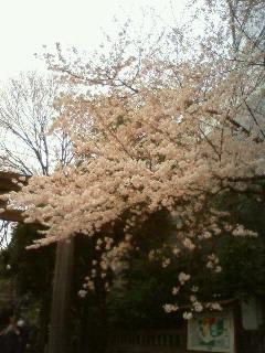 東郷神社のサクラ