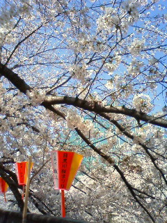 サクラ咲く目黒川